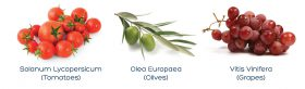 solanum-lycopersicum-olea-europaea-vitis-vinifera